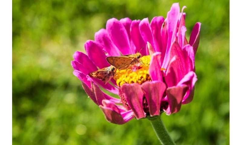 Researcher studies pollinator plots for warm season grass lawns