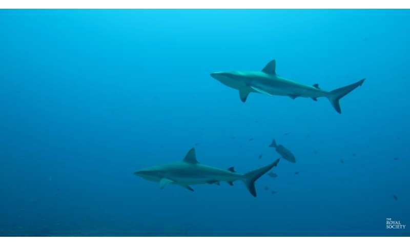 Video: Tracking data and shark behaviour