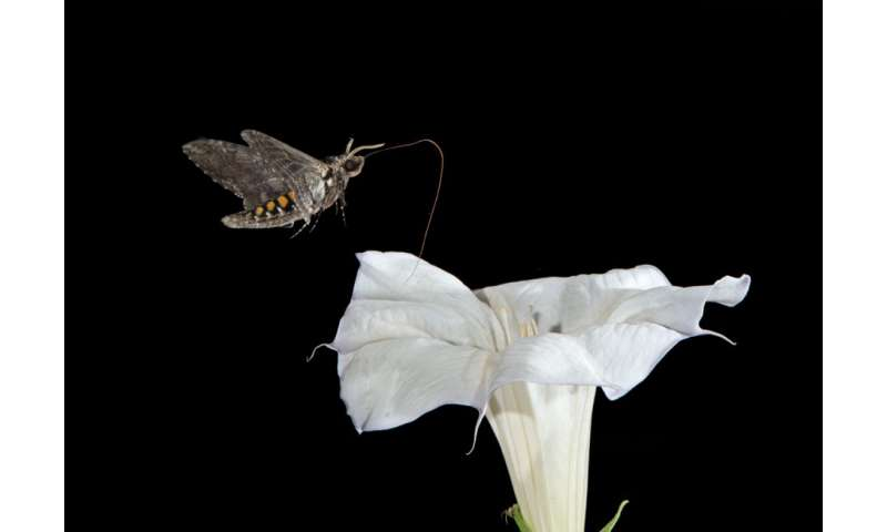 Moths found to produce their own antioxidants from carbohydrates