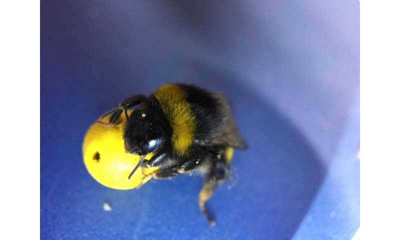 Ball-rolling bees reveal complex learning
