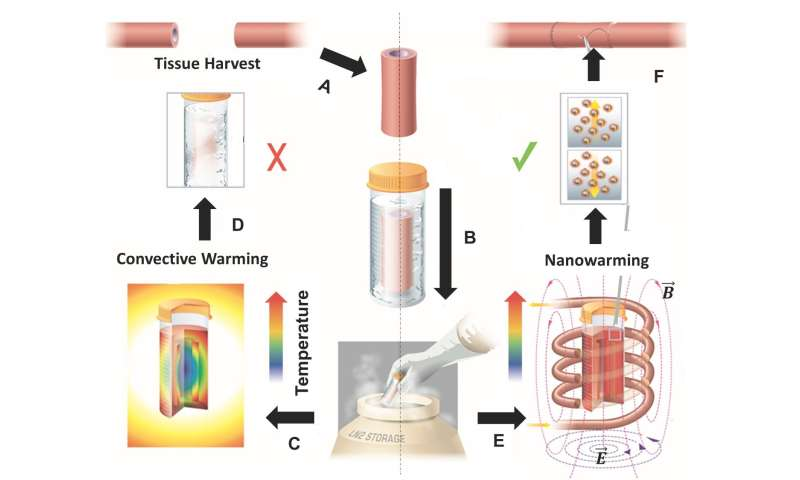 Groundbreaking technology successfully rewarms large-scale tissues preserved at low temperatures