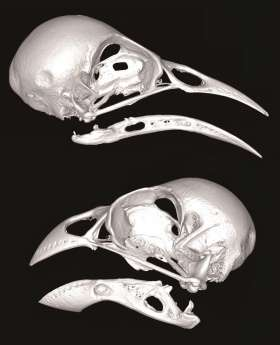 3-D scans reveal flexible skull patterns are key to island bird diversity