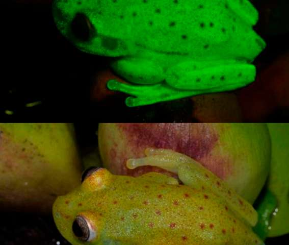 Naturally fluorescent amphibian found in Amazon basin
