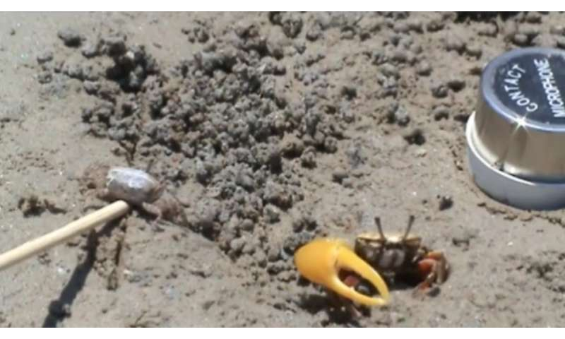 Fiddler crab found to use waving and drumming to demonstrate fitness to mate (w/ video)