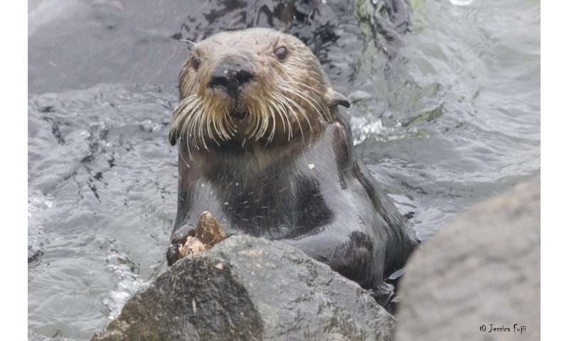 Genetic study of sea otters suggests very long history of tool use