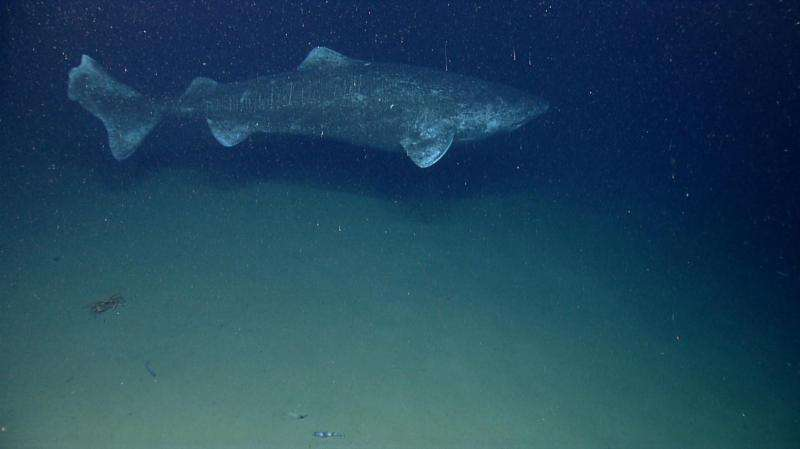 Arctic expedition to uncover the secrets of an ancient and mysterious shark