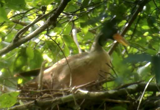 Researchers in Cambodia find nest of rare riverine bird
