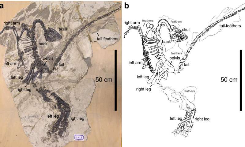New species of troodontid with asymmetric feathers found in China