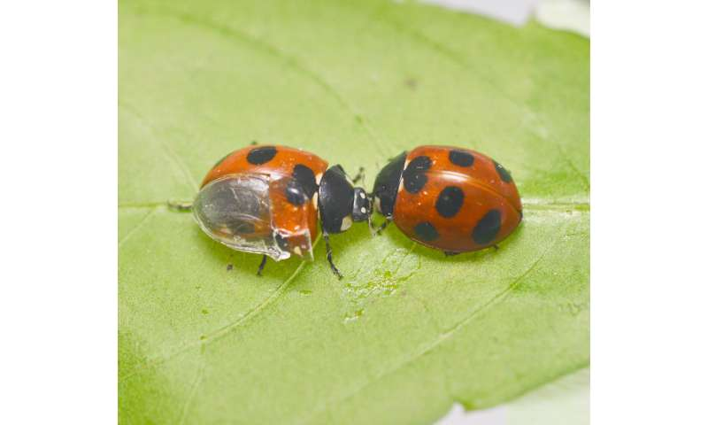 Unfolding the folding mechanism of ladybug wings