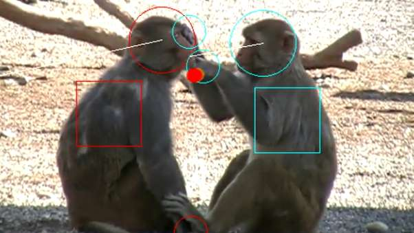 Image result for Working with rhesus macaque monkeys, researchers in Winrich Freiwald's Laboratory of Neural Systems at The Rockefeller University have discovered tantalizing clues about the origins of our ability to understand what other people are thinking. As reported in Science on May 18, Freiwald and postdoc Julia Sliwa have identified areas in the brains of these primates that are exclusively dedicated to analyzing social interactions. And they may have evolved into the neural circuitry that supports theory of mind in the human brain.