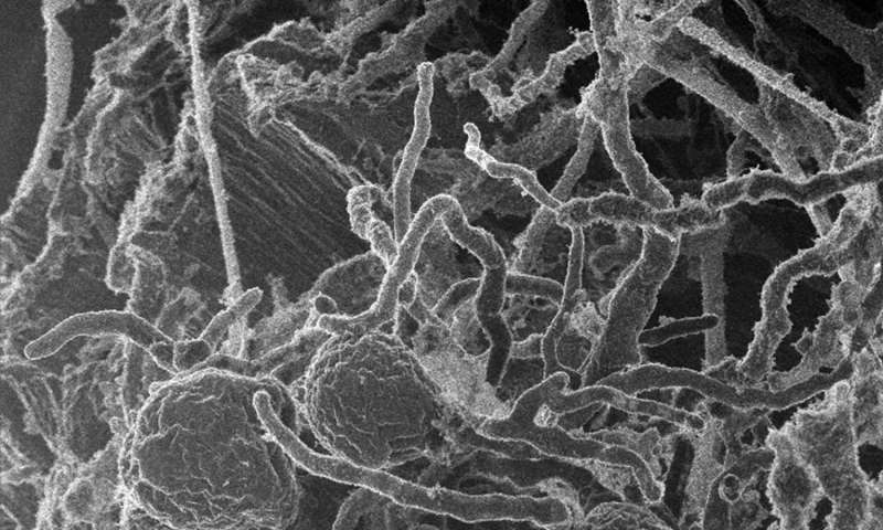 Fungal enzymes team up to more efficiently break down cellulose