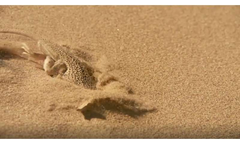 Desert lizards use body oscillations to dive into sand