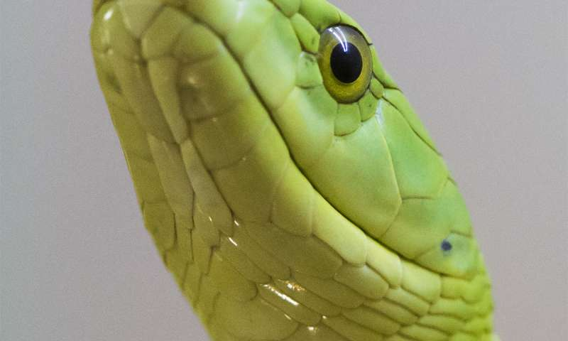 Green mamba peptide found to reduce symptoms of kidney disease in mice