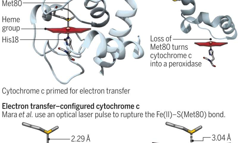 Energetic cost of the entatic state of cytochrome c quantified