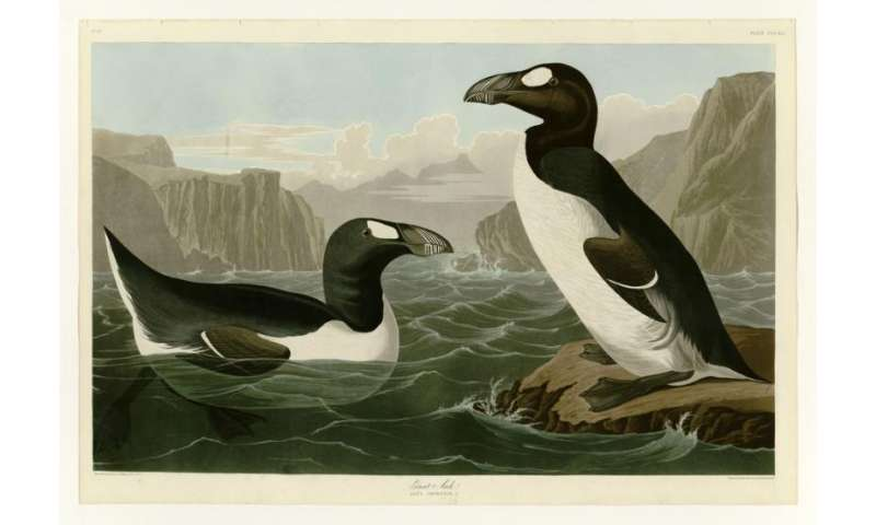 How we're using ancient DNA to solve the mystery of the missing last great auk skins