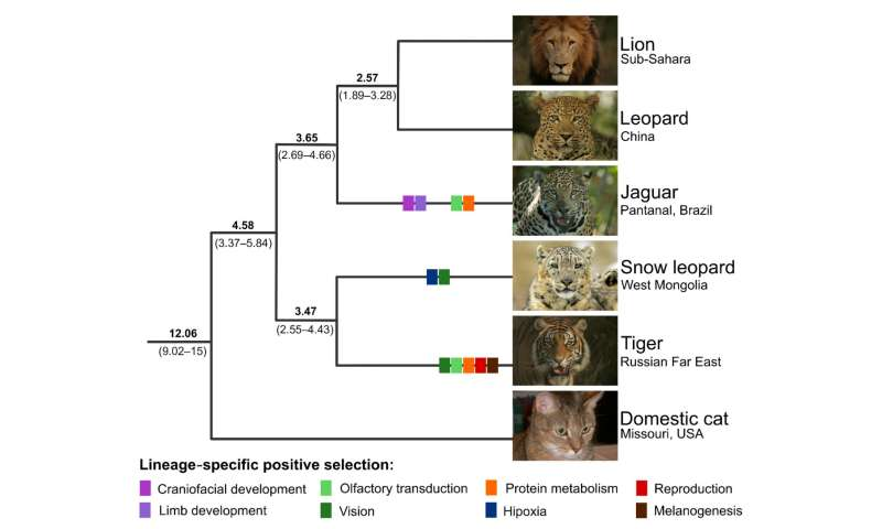 Genome study offers clues about history of big cats