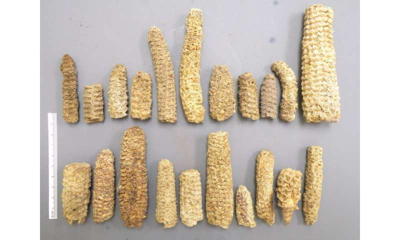 Genome sequencing shows maize adapted to highlands thousands of years ago