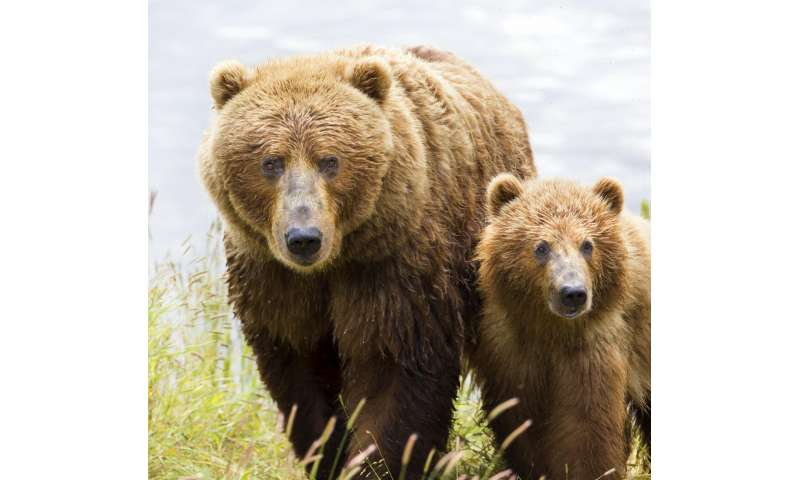 Kodiak bears found to switch to eating elderberries instead of salmon as climate changes