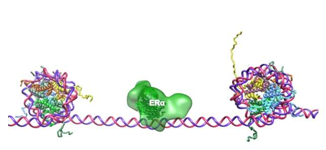 Research reveals how estrogen regulates gene expression