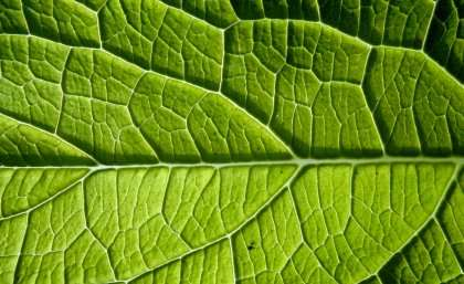 Frost risk predicts leaf size worldwide