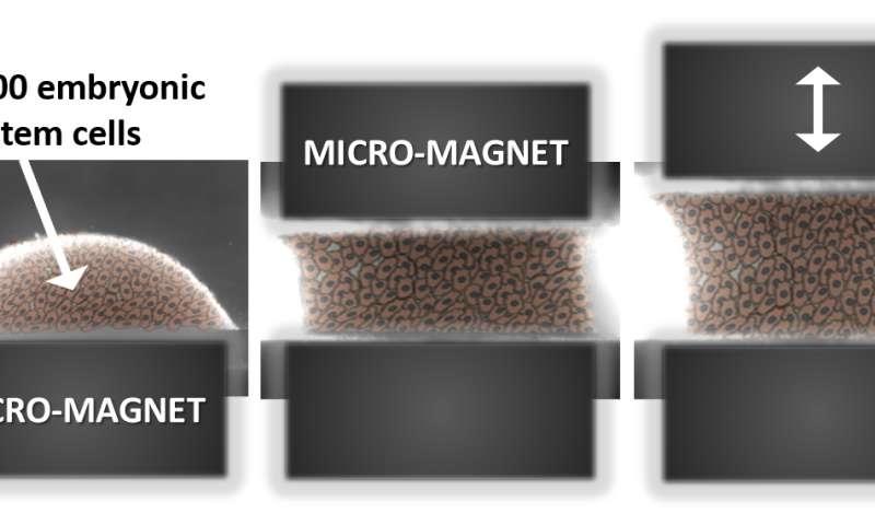Magnetic cellular 'Legos' for the regenerative medicine of the future