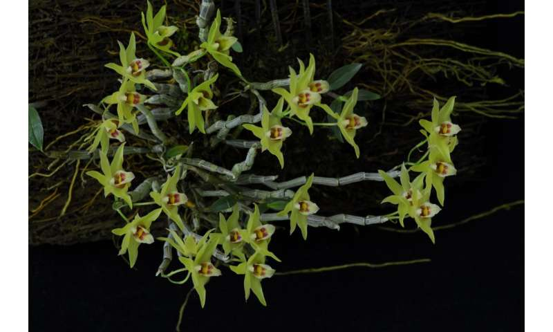 Genome of orchid Apostasia shenzhenica sequenced