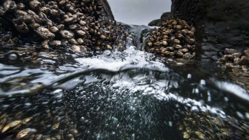 Study makes inroads toward farming gooseneck barnacles