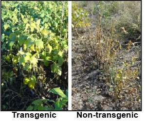 Research details genetic resistance to sudden death syndrome in soybeans