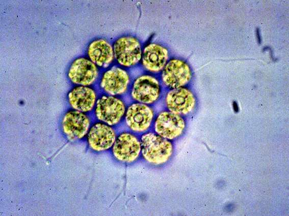 Theory of the evolution of sexes tested with algae