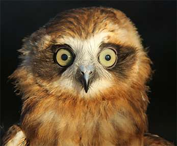 Aussie owls fall foul of rat poisons