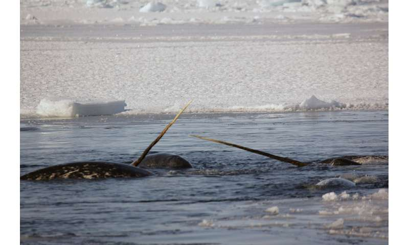 Heart monitors on wild narwhals reveal alarming responses to stress