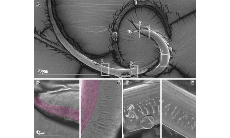 Study of beetle flagellum offers possible way to improve medical devices