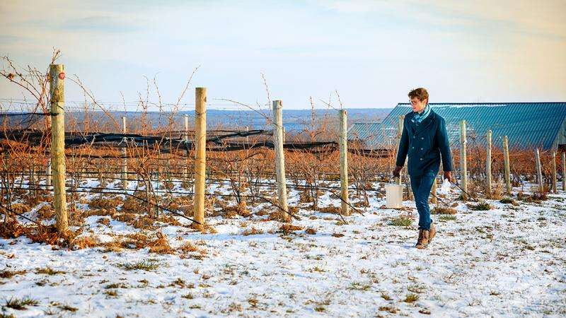 Researchers look for genetic clues to help grapes survive cold