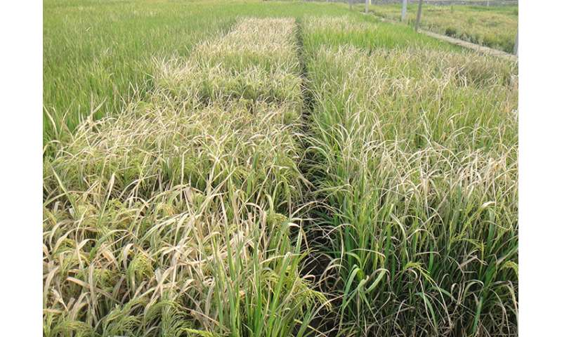 Bacterial blight disease and rice