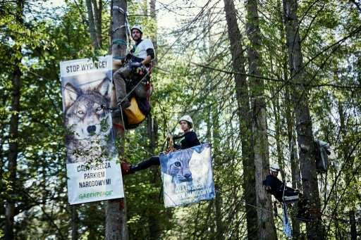 This handout photo made available on August 31, 2017 by Greenpeace shows their activists hanging in trees to stop logging in Pol