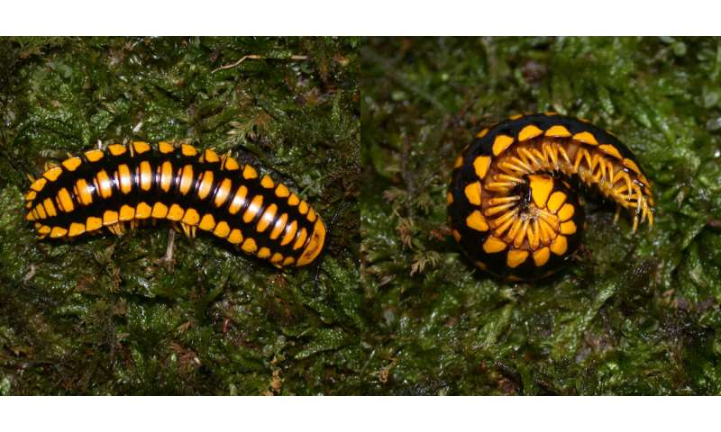 Virginia Tech entomologist discovers invertebrate that comes in more color combinations than any oth
