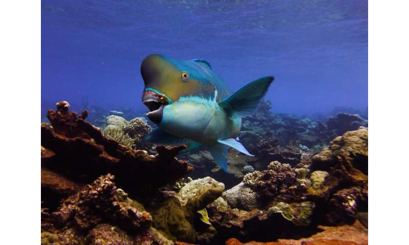 Researchers identify movement patterns of a parrotfish that rotationally harvests its favorite algae