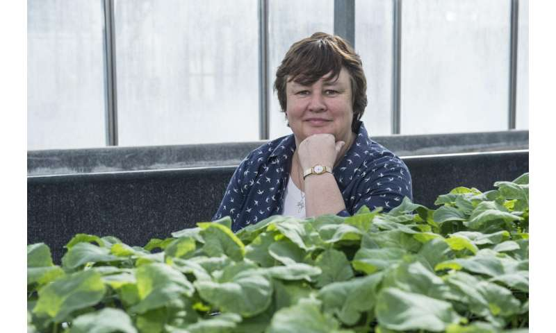 Scientists remove reliance on seasonality in new broccoli line, potentially doubling yield