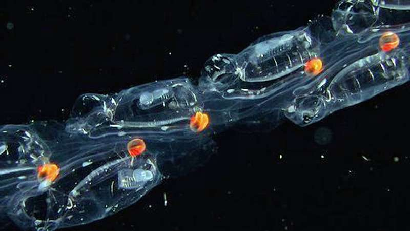Researchers find that teamwork helps jellies jet around the ocean