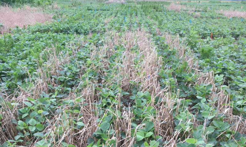 Researchers find cereal rye is effective at reducing Amaranthus spp. density in soybean crops
