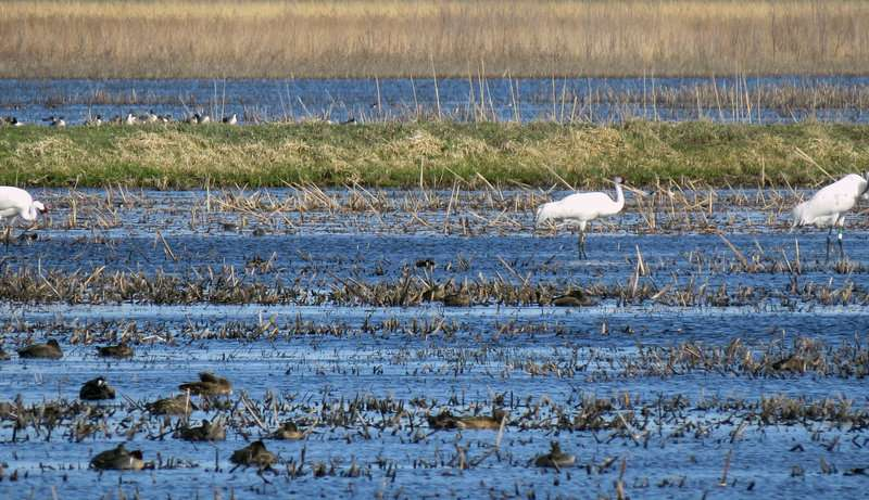 Climate change affecting whooping cranes' migration patterns, study finds