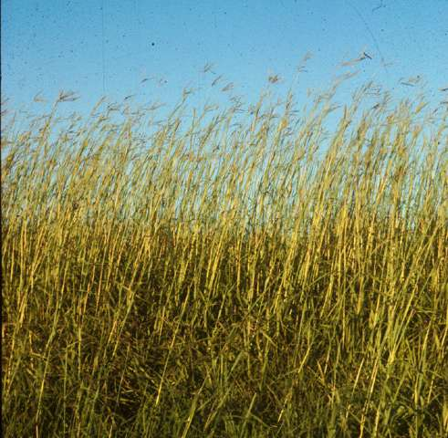 Climate change predicted to reduce size, stature of dominant Midwest plant, study finds