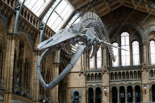 A 25.2 metre (83-foot) skeleton of a blue whale called 'Hope' suspended from the ceiling after being unveiled at the Natural His
