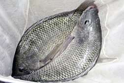 A big step towards reducing strep in farm-raised tilapia