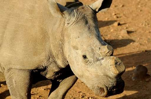 A dehorned black rhinoceros pictured at the Bona Bona Game Reseve, 200 kms southeast of Johannesburg, on August 3, 2012