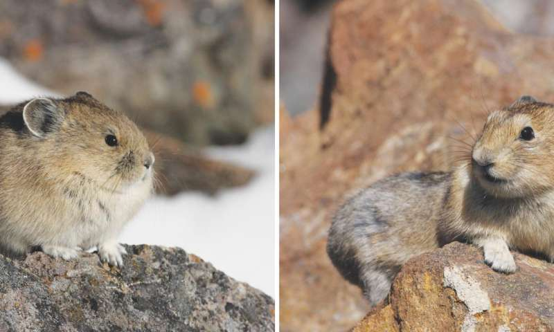 Adorable alpine animal acclimates behavior to a changing climate