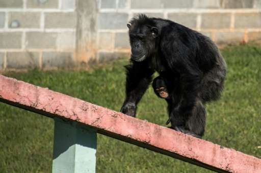 A female chimpanzee holds her baby at the Great Apes Project (GAP), a sanctuary for apes in Sorocaba, some 100km west of Sao Pau