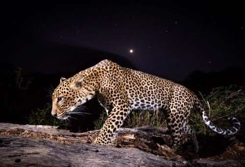 African Leopards Revealed Study Documents Minute To Minute Behavior