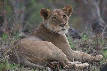 African lions under same threats as extinct sabre-toothed tigers faced