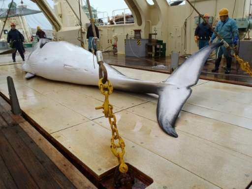 A Japanese whaling fleet has returned to port after an annual Antarctic hunt that killed 333 minke whales as the government purs